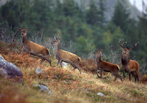 Killarney, National Park, Deer